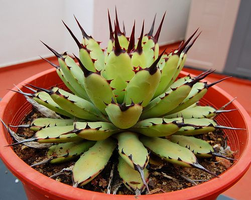 Agave macroacantha green compact form by Leo_González