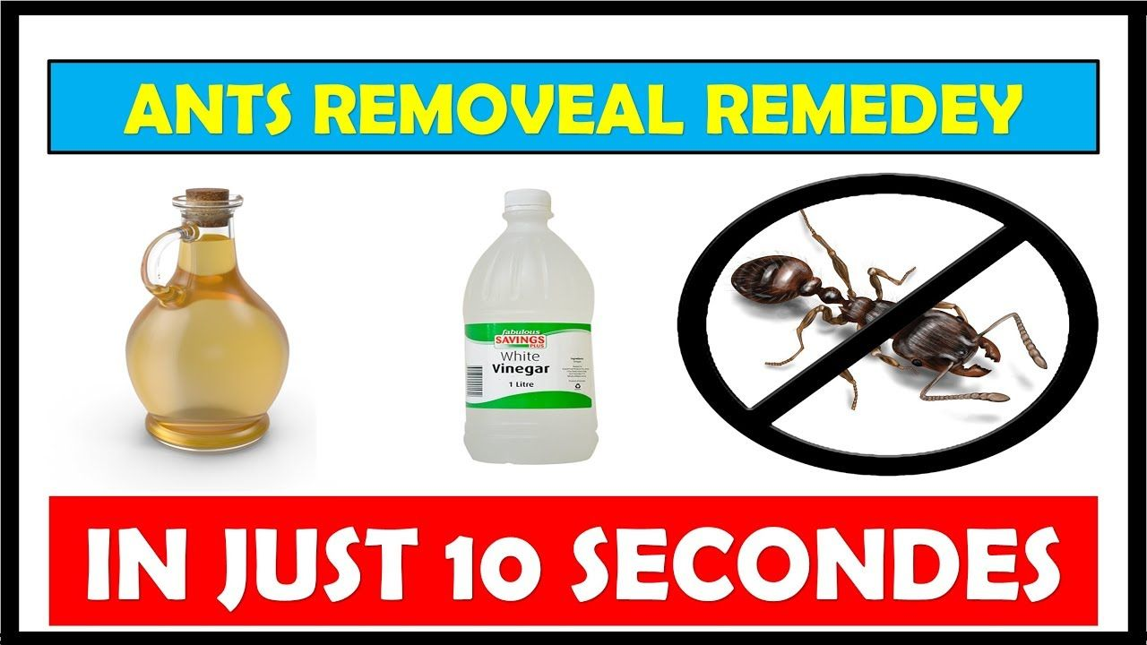 How to get rid of ants in the house with vinegar fast