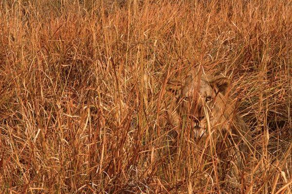 Large Wild Cat