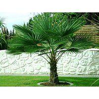suchergebnis auf f r palme winterhart garten gardening pinterest winterhart. Black Bedroom Furniture Sets. Home Design Ideas