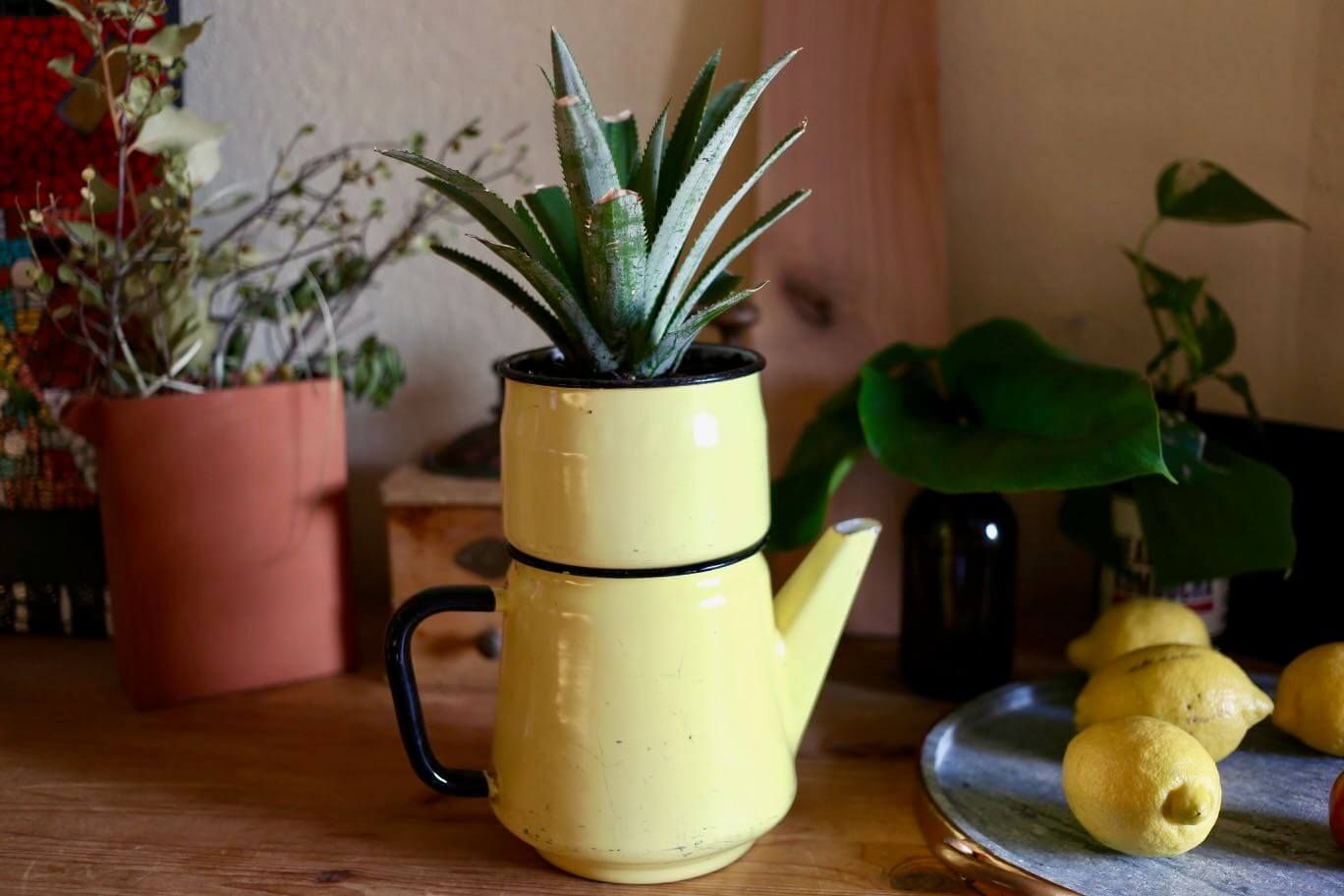Entretenir Un Pied De Basilic planter et entretenir un ananas: tuto pas à pas | ananas