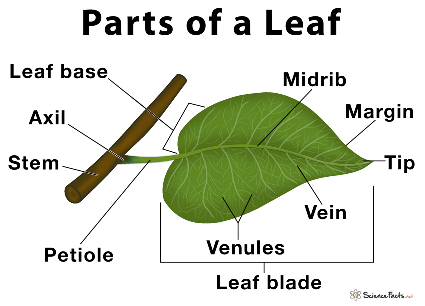 Parts Of A Leaf Their Structure And Functions With Diagram Parts Of A Plant Structure And Function Leaf Structure And Function