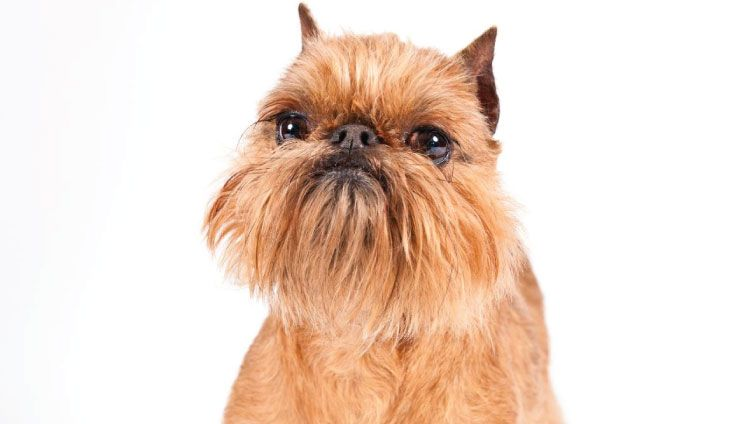30 Small Hypoallergenic Dogs That Don T Shed Barking Royalty