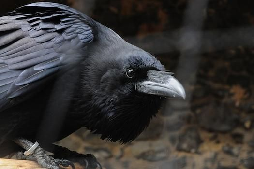 New Study Says Unfairness Really Ruffles Crows' Feathers | Popular Science