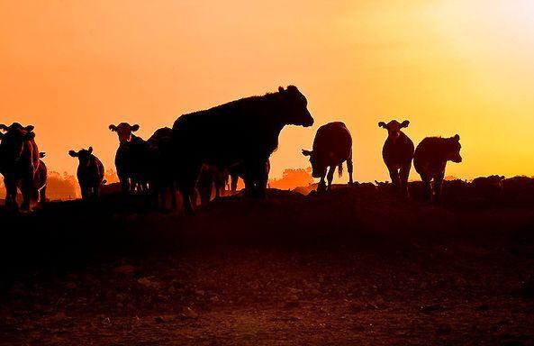 ganado, puesta de sol...