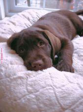 Photo of Flummi's Diary  22 Chocolate Labrador Stock Photos Labrador retrievers are famou…