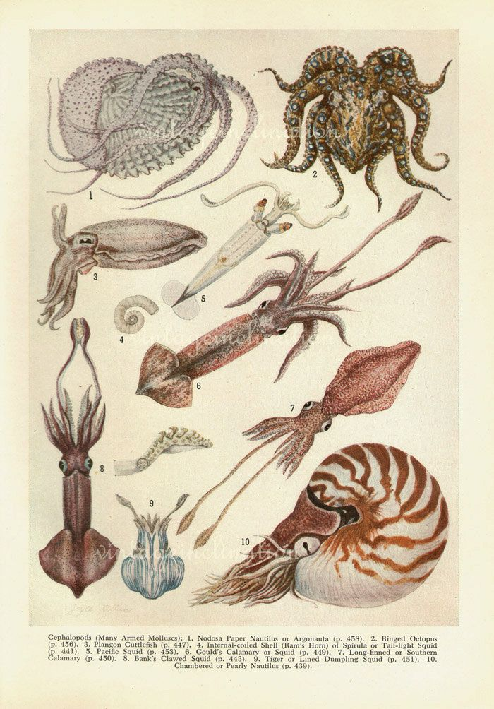 REDUCED - Antique Print, Cephalopods, Pearly Nautilus,1950 ...