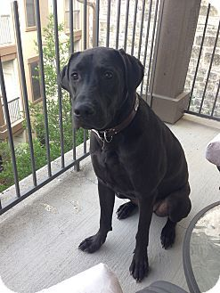 Austin Tx Great Dane Labrador Retriever Mix Meet Dionysus A