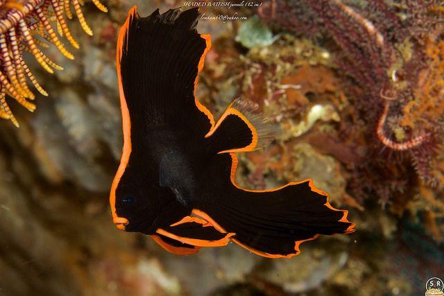Platax Pinnatus 12 Cm Batfish Animals Beautiful Aquarium Fish