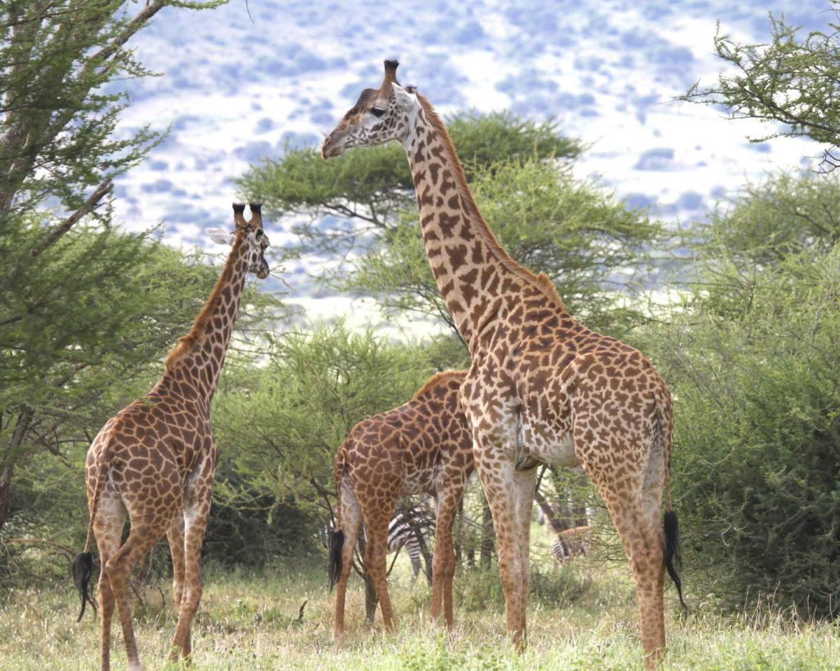 De Giraffenput Sophia Vassiliou Pinterest Giraffe Genetics