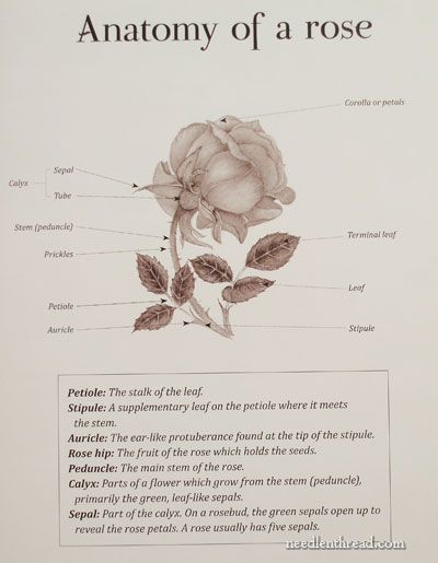 anatomy of a rose botanical print