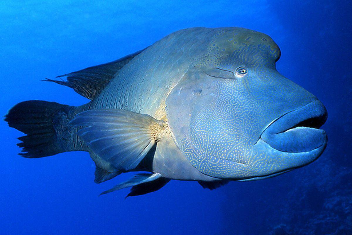 Risultati immagini per pesce napoleone | Pesce