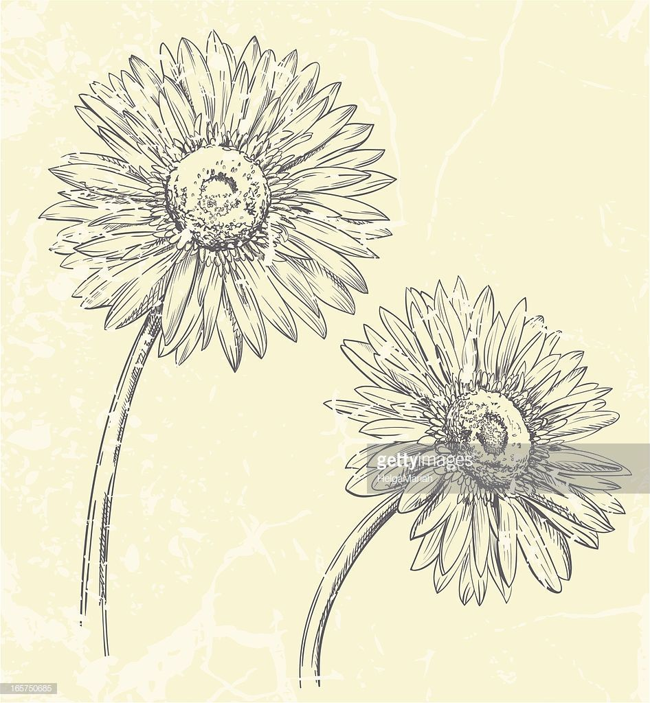 Hand Drawn Vector Illustration Of Gerbera Daisy Daisy Drawing