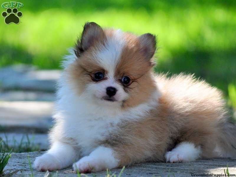 Simon Pomeranian Puppy For Sale In Gap Pa With Images