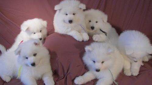Samoyed Sale Singapore Samoyed Puppies Buy Buy Samoyed Breeders Samoyed Dogs Breed Samoyed Dogs For Adoption Samoyed Puppy Samoyed Dog Breeds