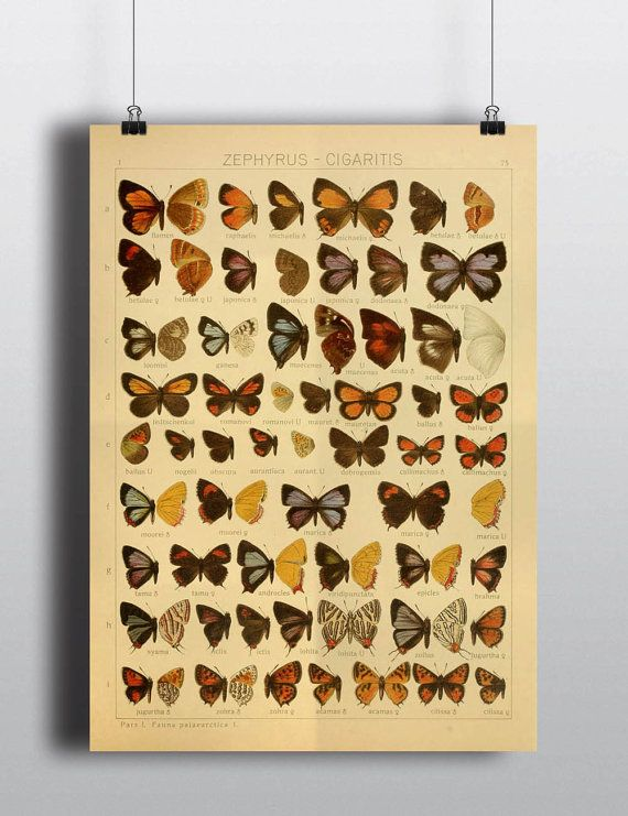 Antique 1800s Butterfly Science Chart Poster Art Print Illustration ...