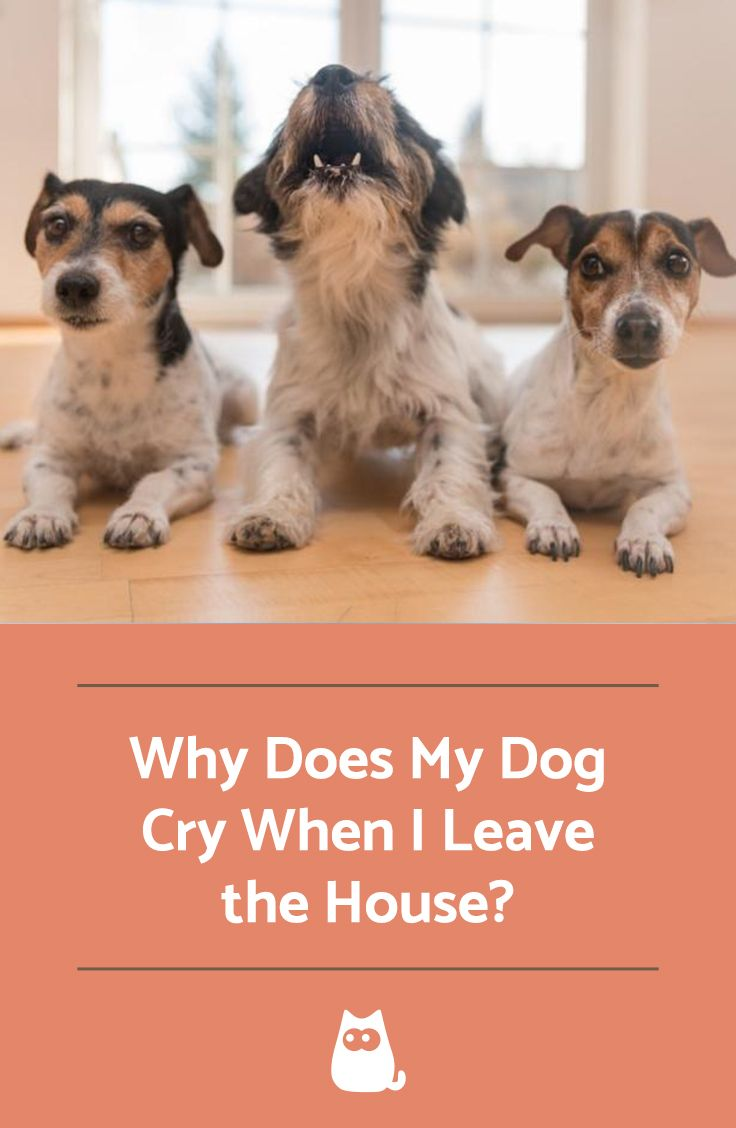 Why Does My Dog Cry When I Go Out? Dog crying, Dogs, Crying