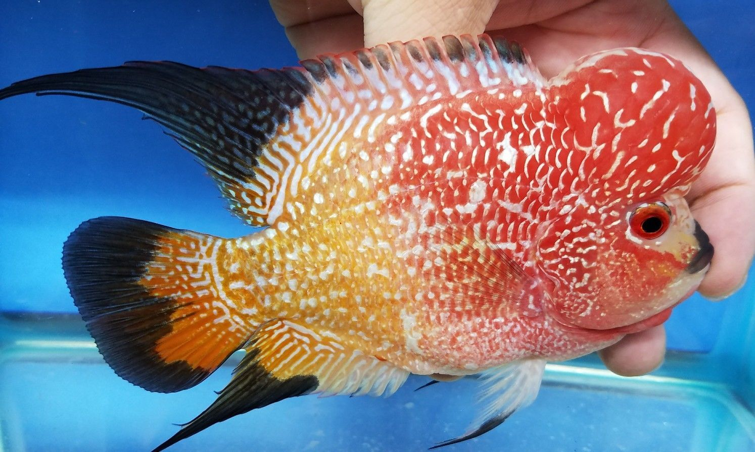 5 5 Inch Show Quality Golden Base Monsterkok Flowerhorn 83 His Color Just Keeps Getting Better And Becoming More Tropical Fish Store Aquarium Fish Cichlids