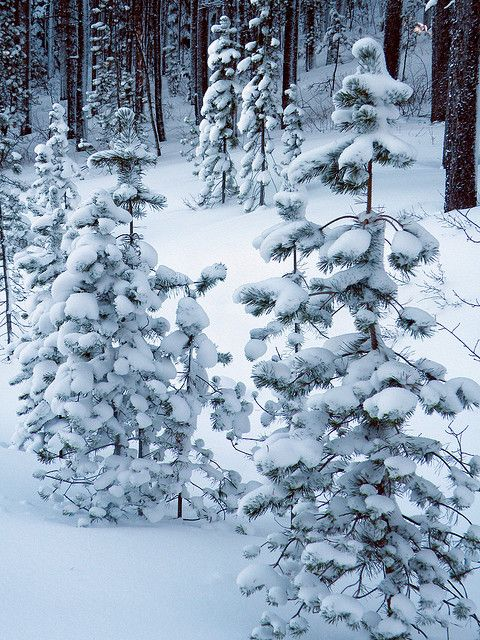 Little snowy pines Mother Nature makes her own Christmas trees...