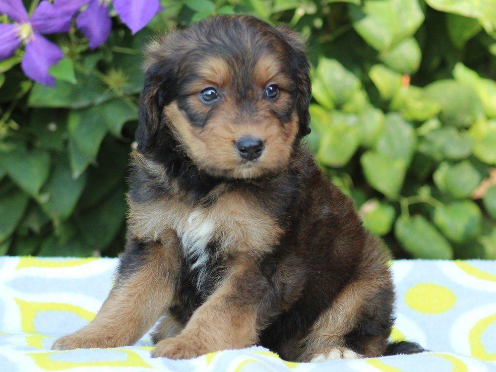 phantom brown bernedoodle puppy Puppies, Bernedoodle