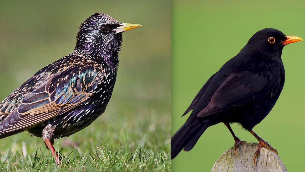 Starling And Blackbird Birds Duet Song Call Sound Nature Birds