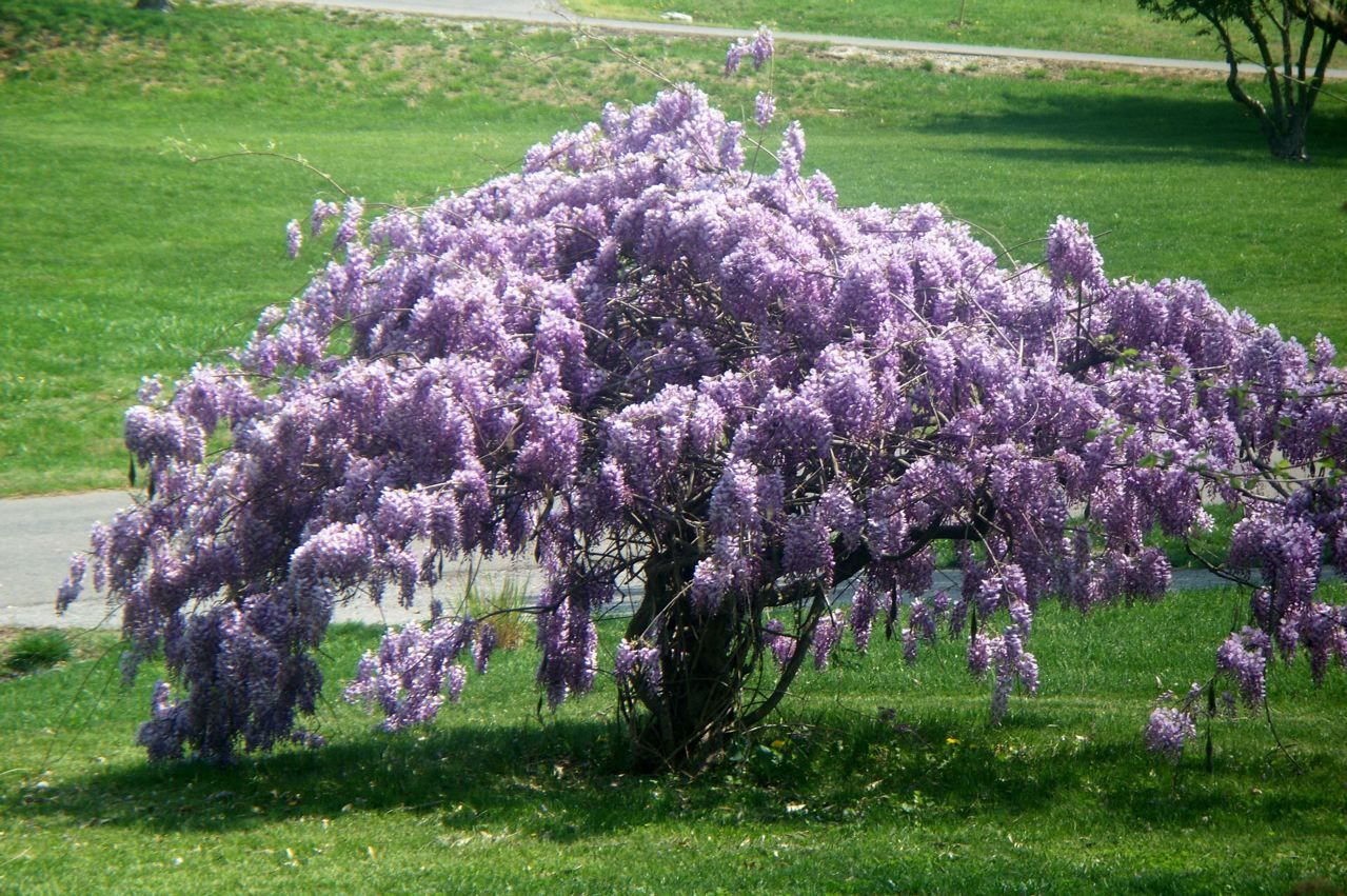 Photo Of The Entire Plant Of American Wisteria Wisteria Frutescens Blue Moon Posted By Sharon All Things Plants Wisteria Tree Fragrant Plant Plants