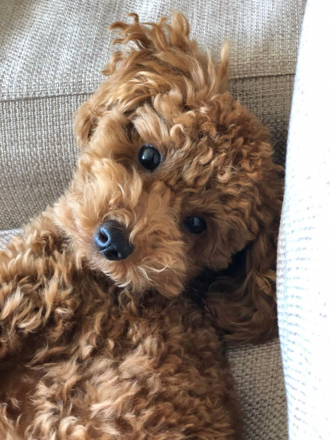 The Traits We Admire About The Athletic Poodle Puppy