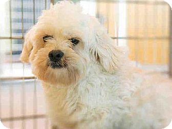 Norfolk, VA Shih Tzu/Toy Poodle Mix. Meet TAGE a Dog for