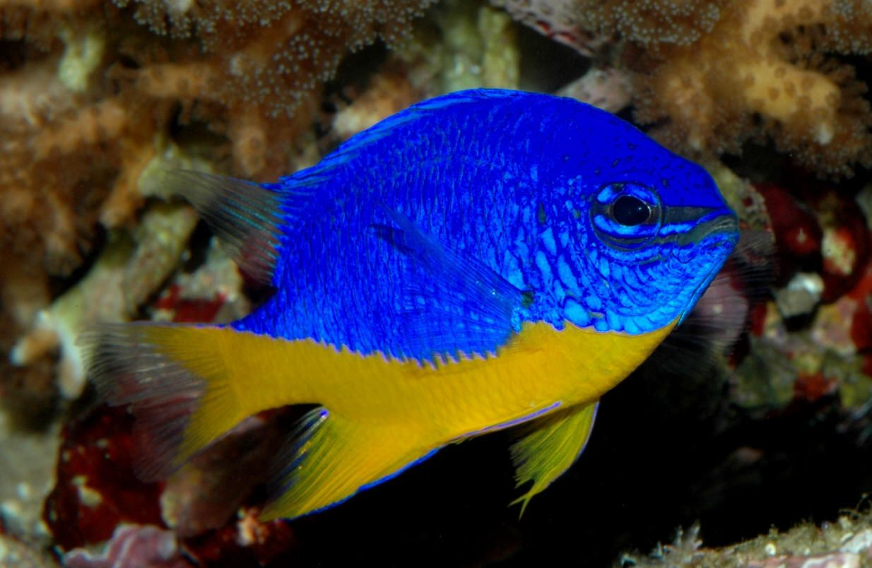 Damsel fish one fish two fish red fish blue fish for Yellow saltwater fish