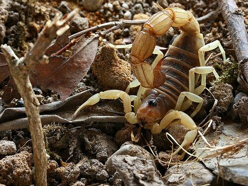 Parabuthus Raudus Light Cool Insects Scorpion Cute Posts