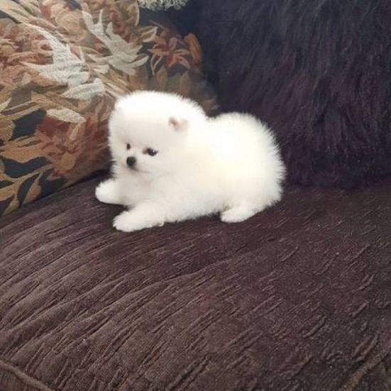 Purebred Pomeranian Puppies Available Pomeranian Puppy Teacup Pomeranian Puppy Pomeranian Dog