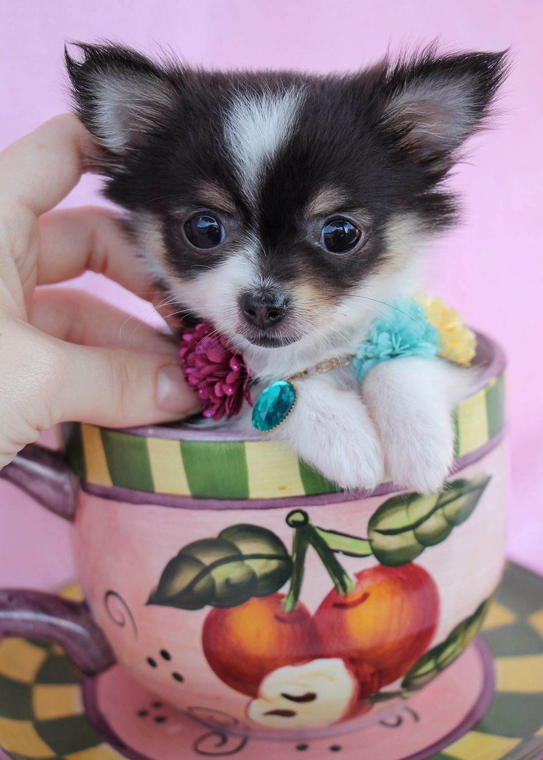 Teacup Chihuahua Puppies for Sale puppies Pinterest