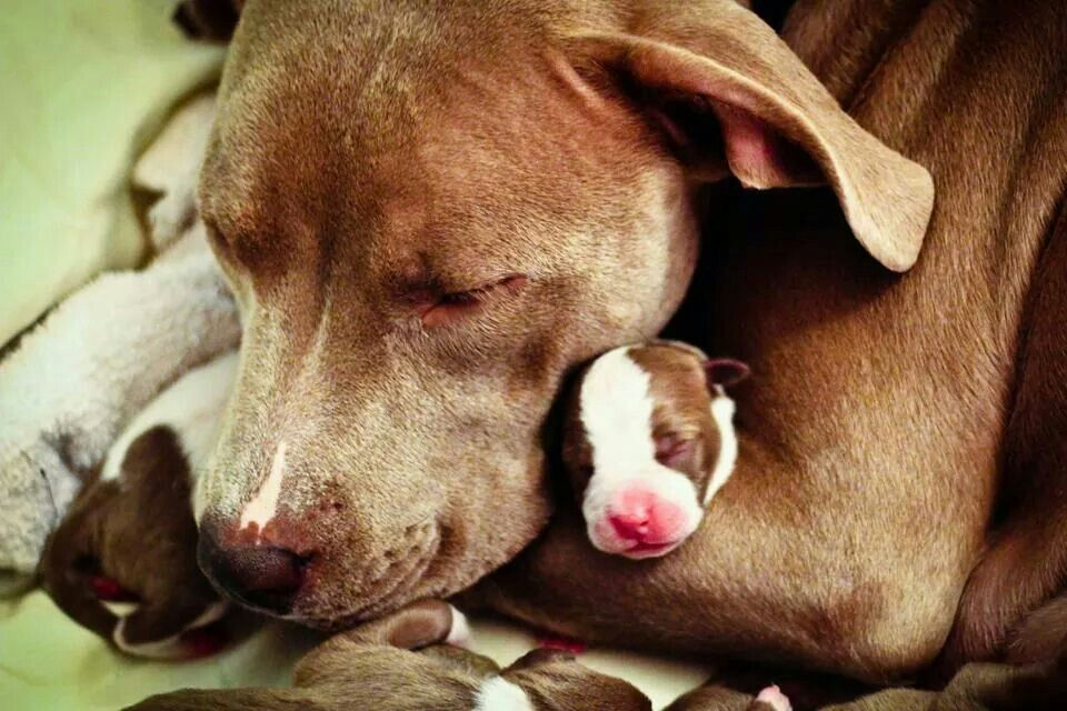 A Pit Bull Mom and her baby, my heart just melted! Dog