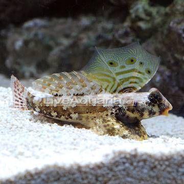 Scooter Blenny Saltwater Aquarium Fish For Marine Aquariums Saltwater Aquarium Fish Marine Aquarium Aquarium Fish