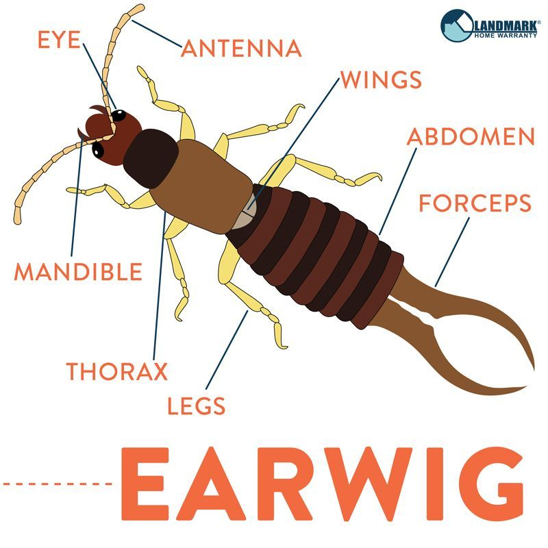 Earwigs Contrary To Their Name They Don T Actually Pose Any