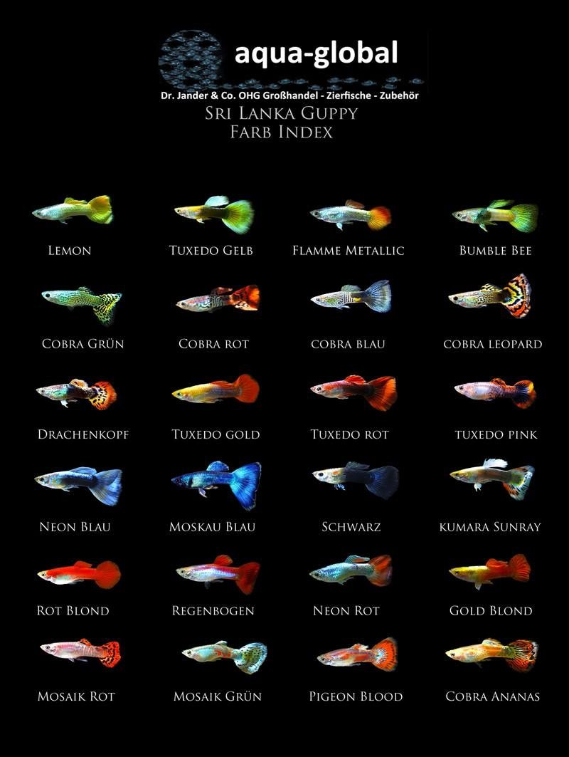 Guppies aquarium 101 pinterest guppy aquariums and fish guppies nvjuhfo Images