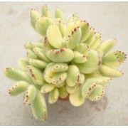 Kalanchoe Pumila Avec Images Plante Succulente Plante Verte