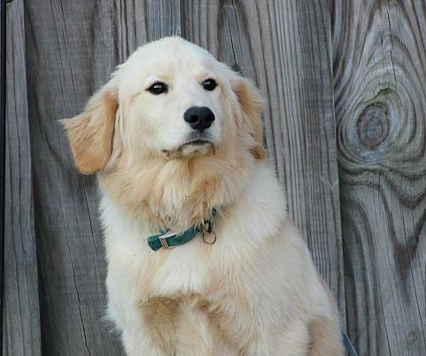 Adopt Gideon On Pets Golden Retriever Mix Animals