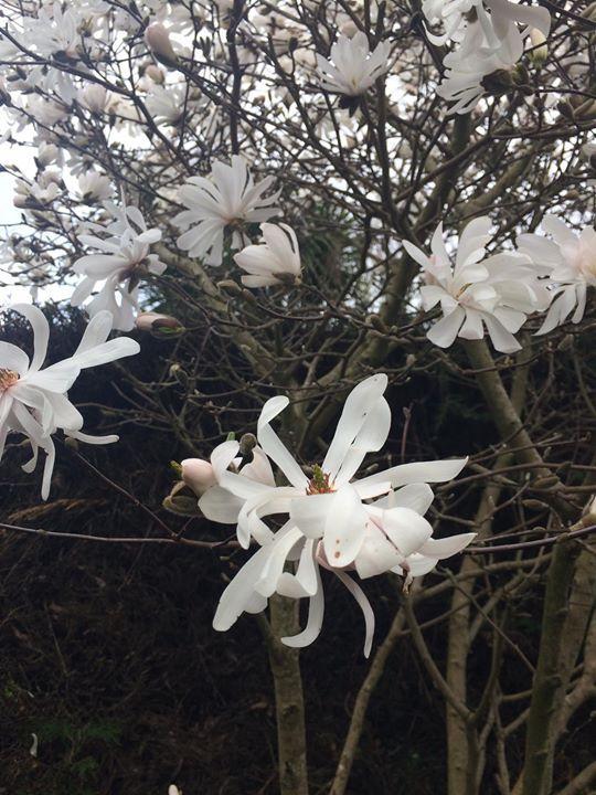Paul & Tracy's magnolias :-)