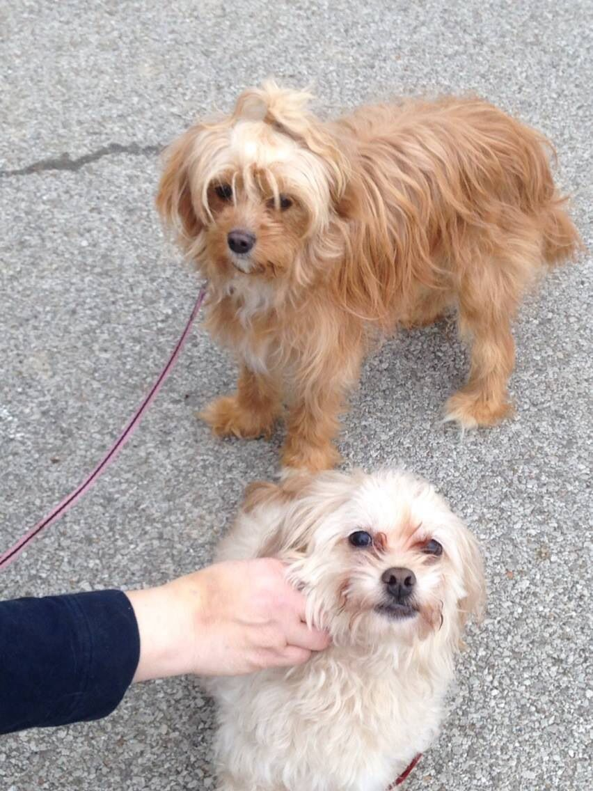 Two Poodle Mixes A Cavapoo And A Pekapoo Friends Forever Cavapoo Puppies Poodle Mix Cavapoo