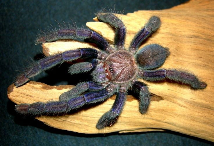 Aphonopelma Seemanni Exotische Tiere Haustiere Tiere