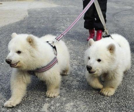 polar bears on a leash, pet, walk