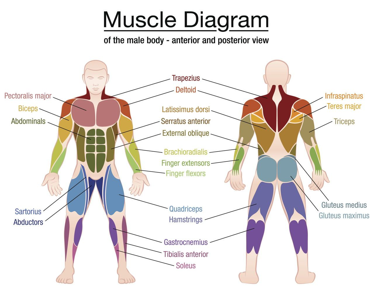 Muscle Contraction Steps (With images) | Muscle diagram ...