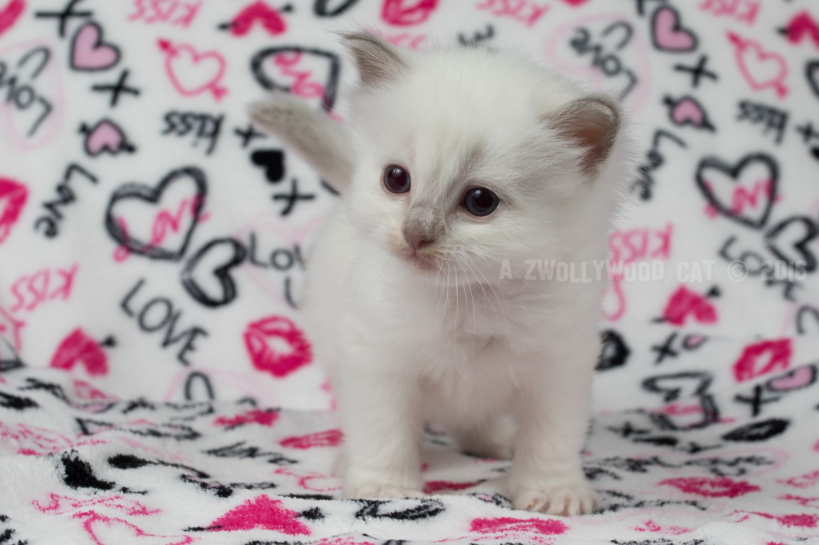 2016 Barney Rubble A Zwollywood Cat 4 Weeks Old Ragdoll Kitten Lilac Colourpoint Flintstones Litter Dog Cat Cats Funny Cat Faces