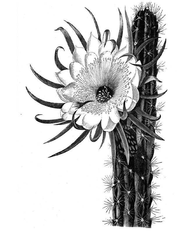 BCSS Birmingham   Cactus tattoo, Cactus drawing, Desert tattoo  Cactus Flower Outline