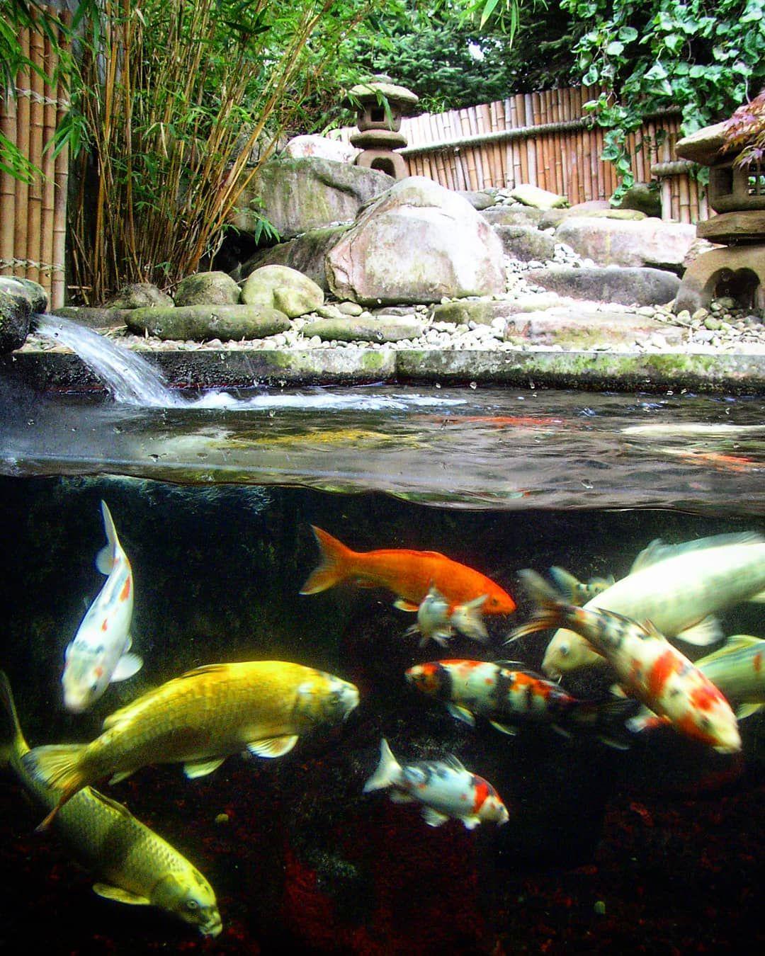 9169abfa3341544e3550a3d11402a6b0 - The Koi Whisperer Sanctuary & Japanese Gardens