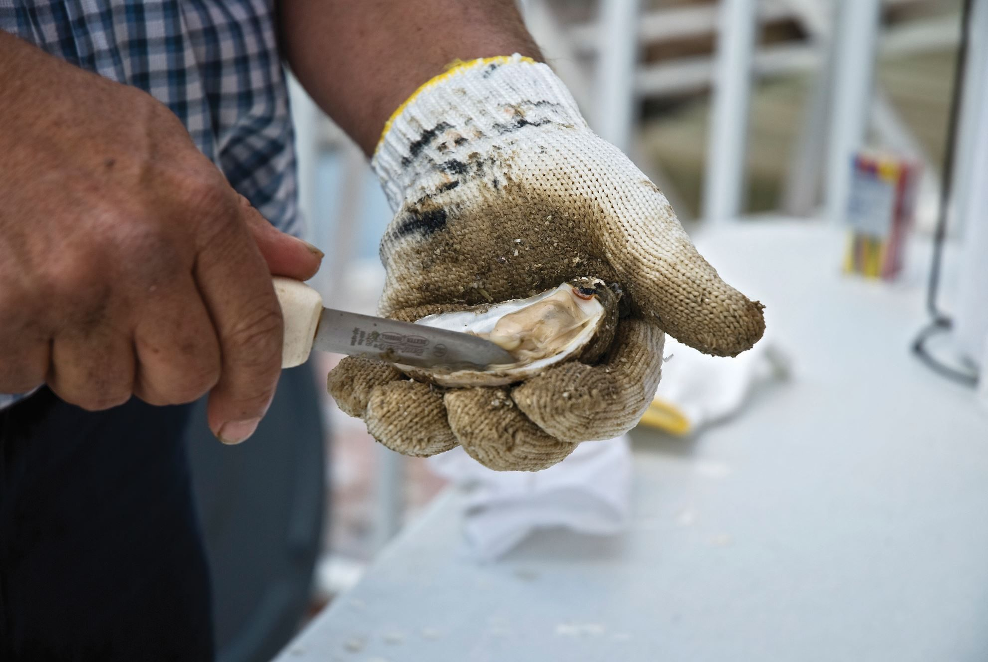 Oyster shucking in Florida