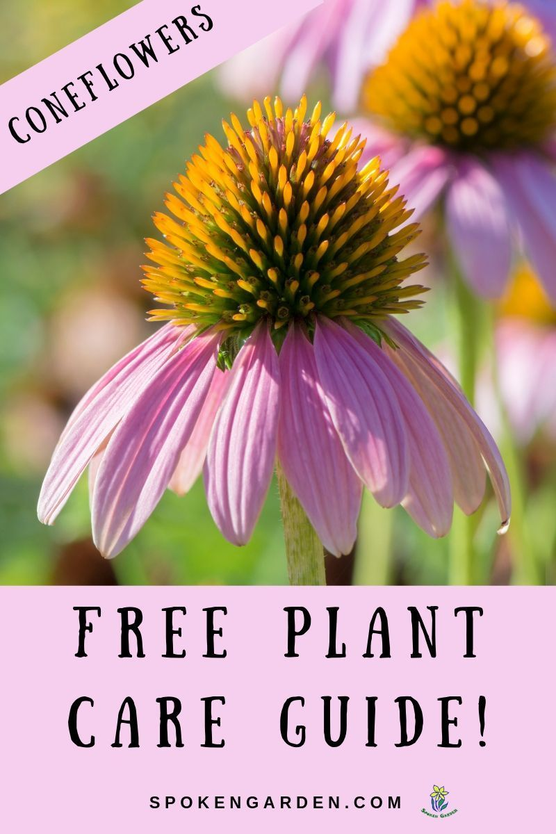 Learn Coneflower Plant Care In This Free Printable Plant Guide Coneflowerplant Conef Spring Vegetable Garden Summer Vegetables Garden Summer Flowers Garden