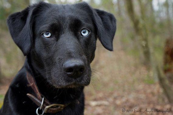 Black Dog Art Dog Lover Gift Blue Eyes Art Black Lab Art Black