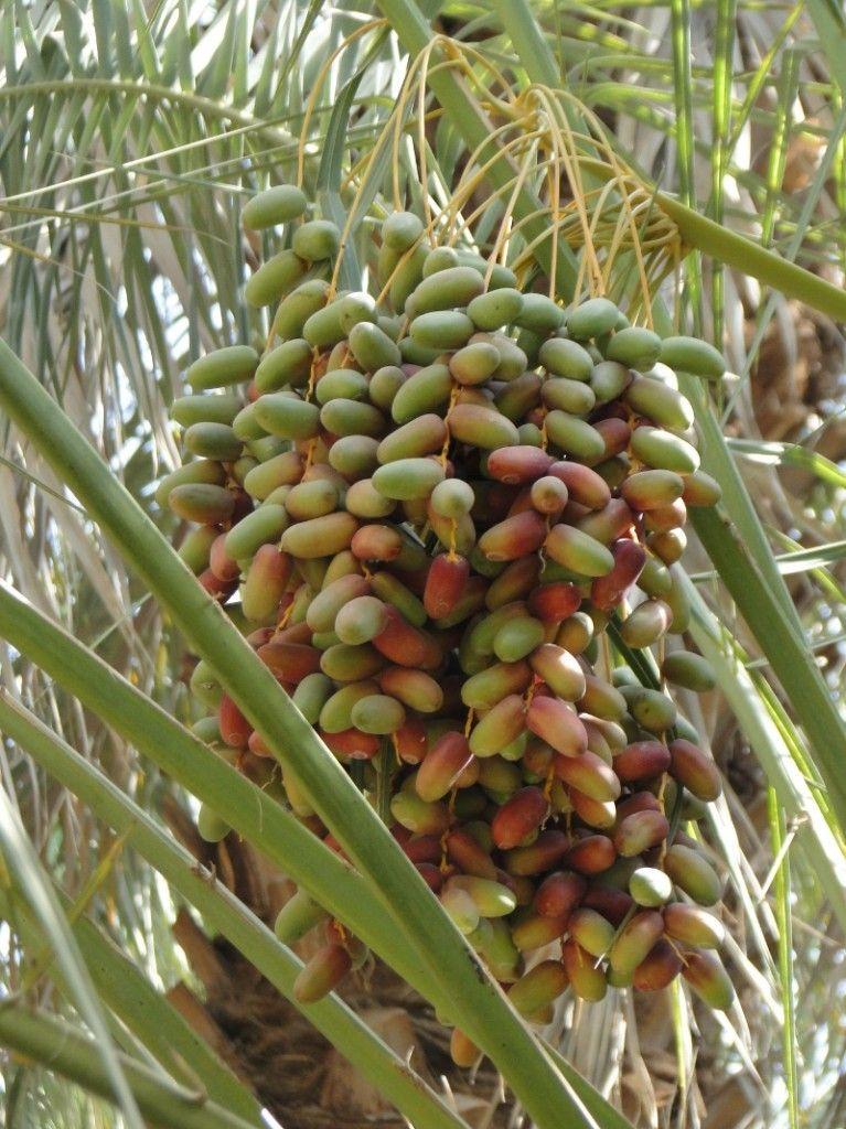 A fruiting inflorescence of a Saudi Arabian date palm